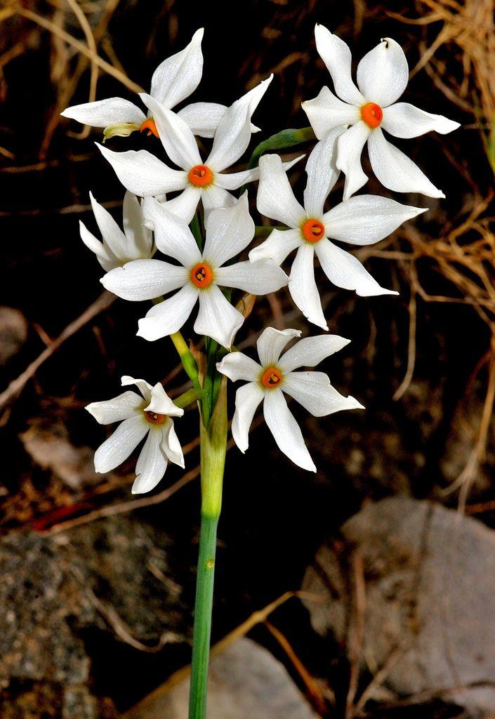 Narcissus elegans (Haw.) Spach - AMARYLLIDACEAE - Sierra de Camarolos (Málaga) (39)