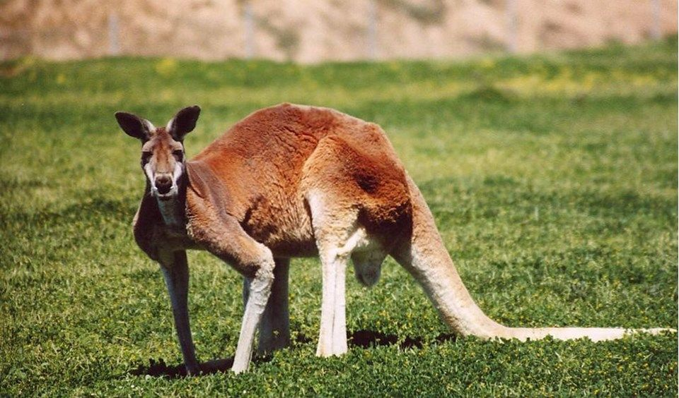 Red kangaroos are the largest living marsupials, with adult males ...