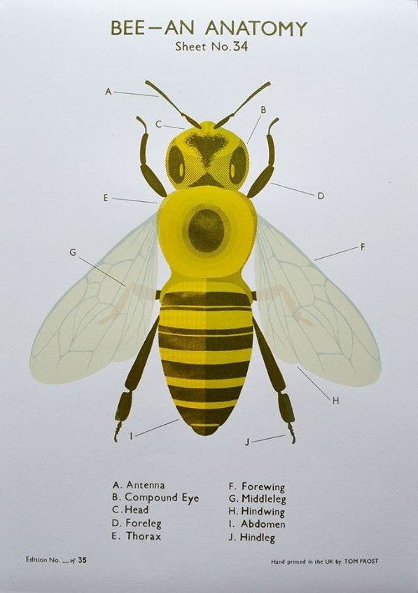 Bee Anatomy Chart. Four colour screen print on Fabriano paper ...