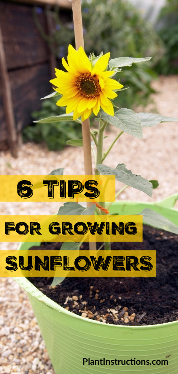 6 Tips For Growing Sunflowers In 2020 Growing Sunflowers Planting Sunflowers Growing Sunflowers From Seed