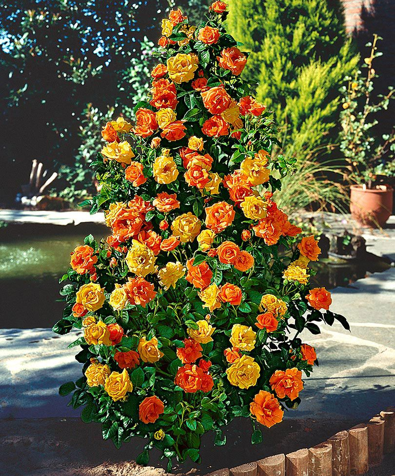 Jy Rosa Gold Plate Fountain Rose Spaldingbulb Co Uk Plants
