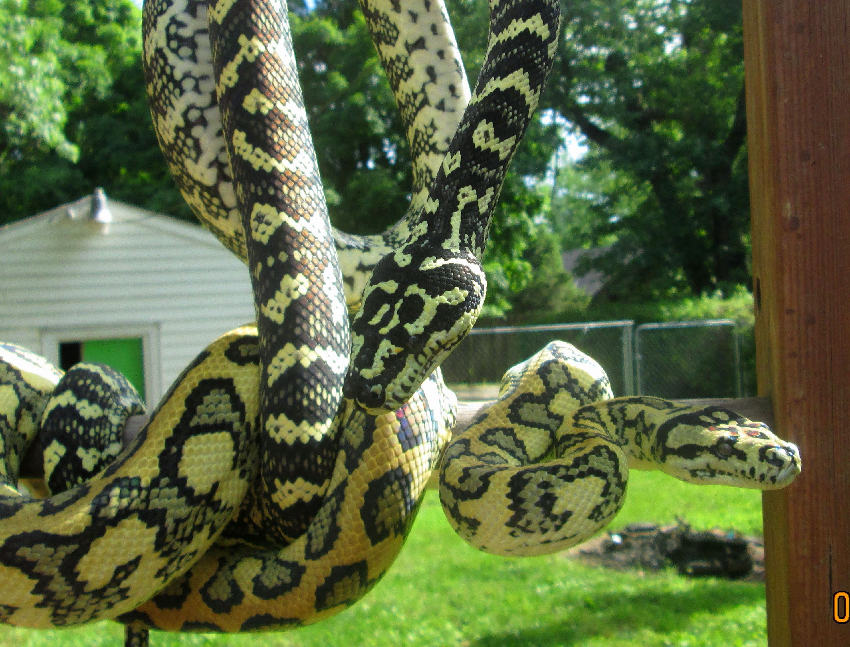 Diamond X Jungle And Jungle X Jaguar Carpet Python With Images