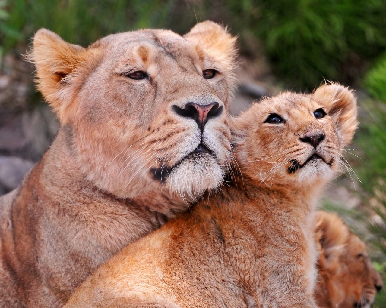 Baby Animals Images Babylionpicture Thumb Baby Lion Picture
