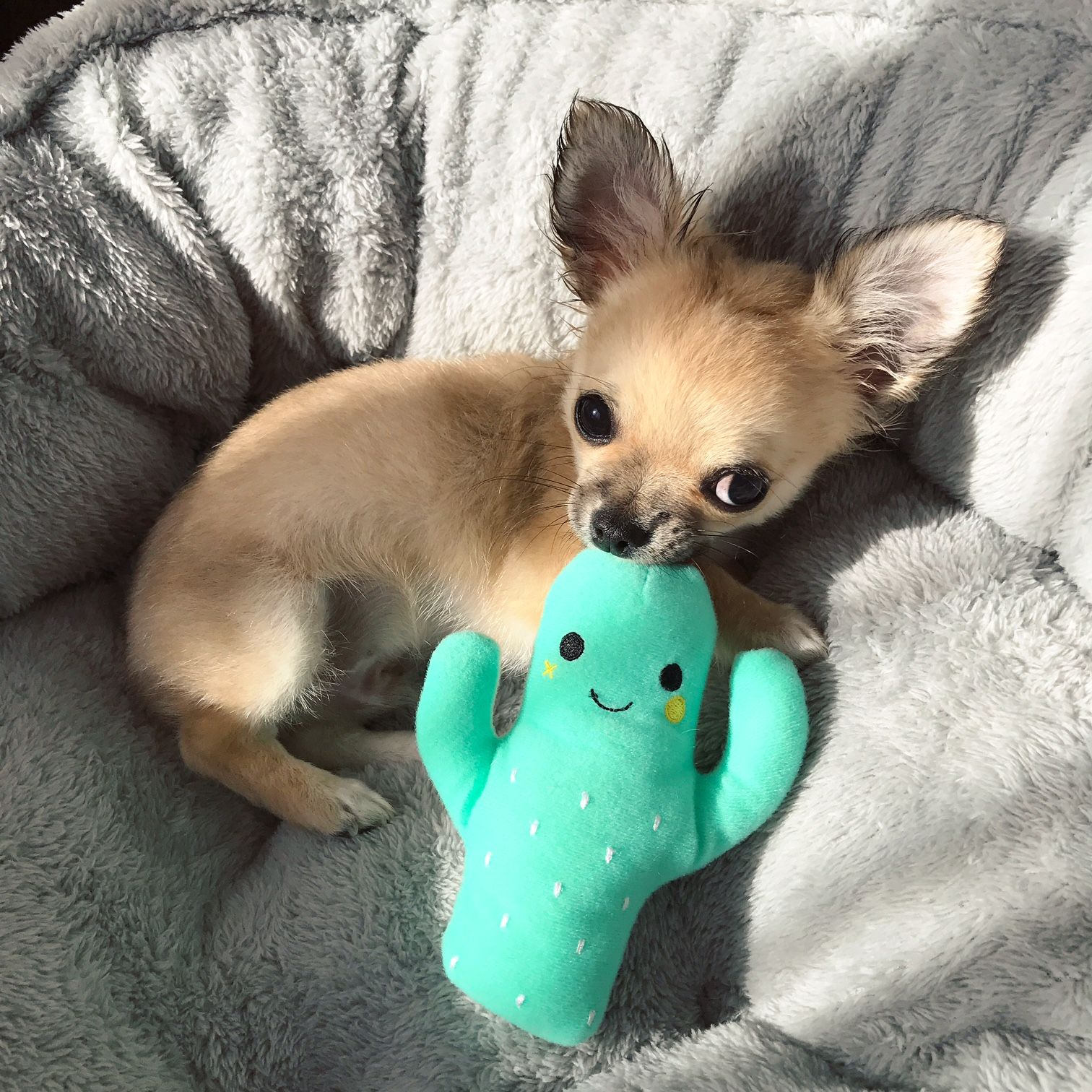 Lately Perth Beauty Blogger Katie Rebekah Puppy Chihuahua