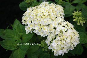 Hydrangea First White