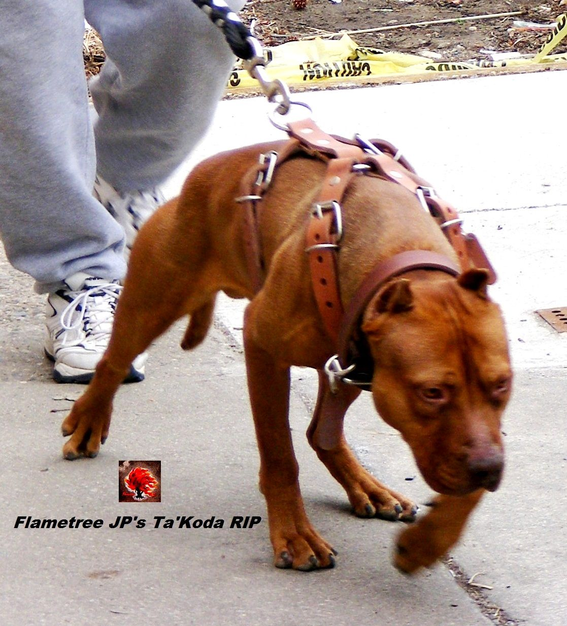 Old Family Red Nose Line Of American Pitbull Terriers Native
