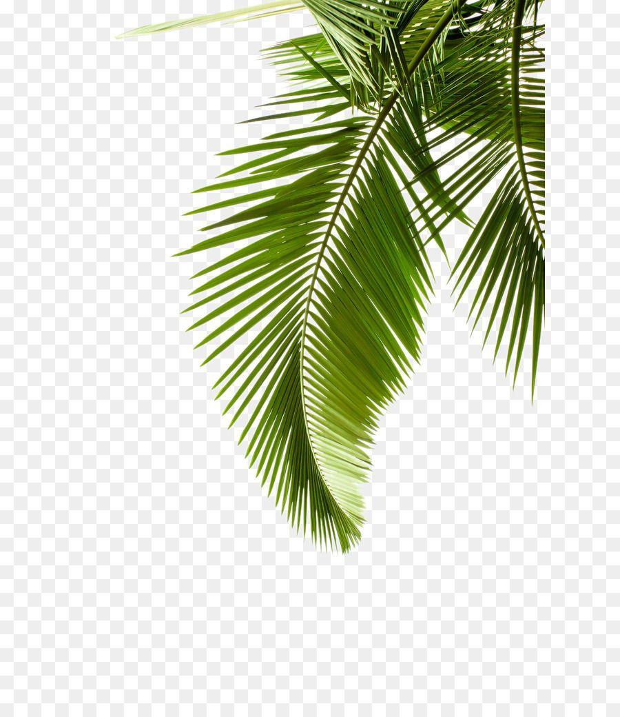 Paper Arecaceae Leaf Palm Branch Tree Leaf Pattern Unlimited Download Kisspng Com Palmeira Png