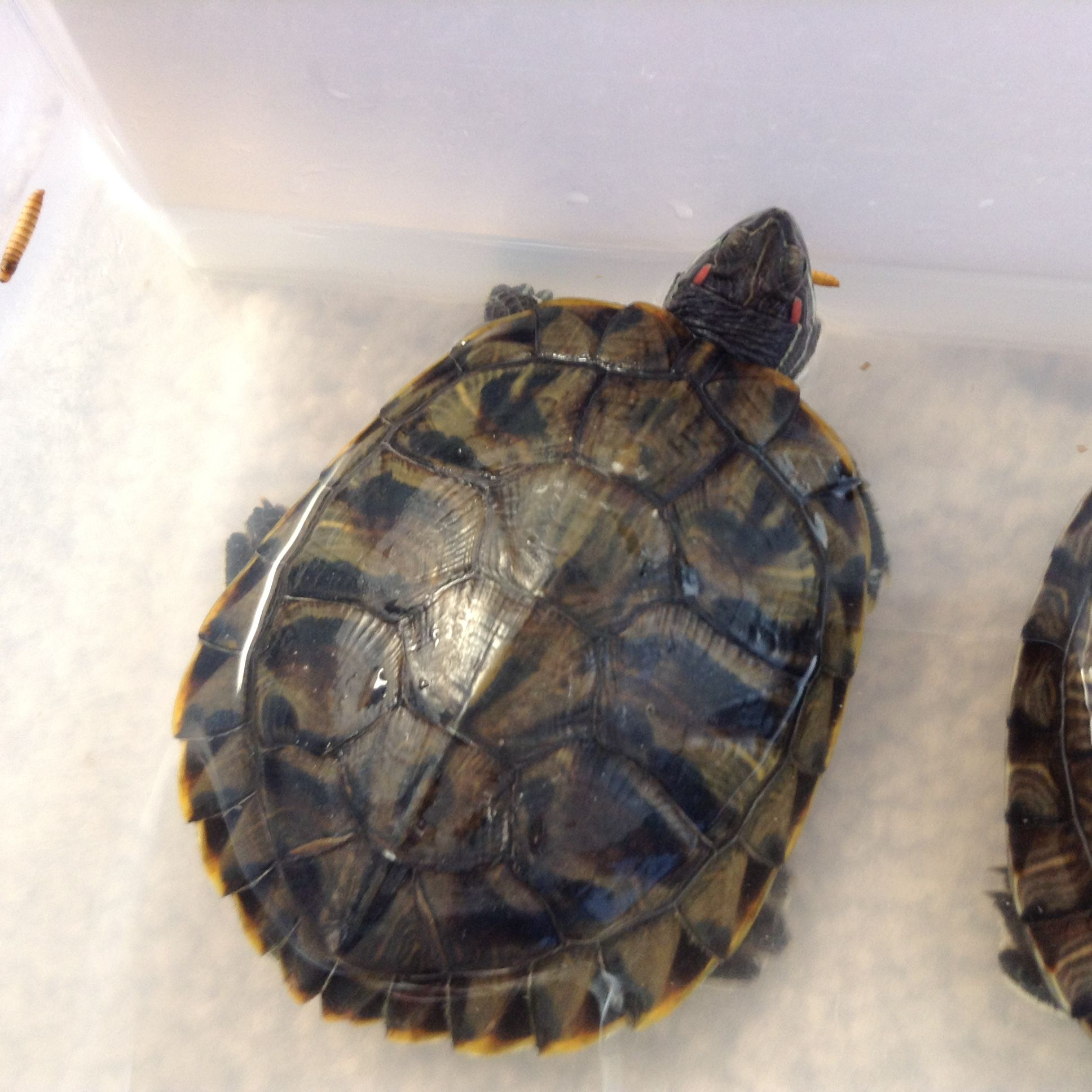 Pin by plantingsplus on slider turtles slider turtle