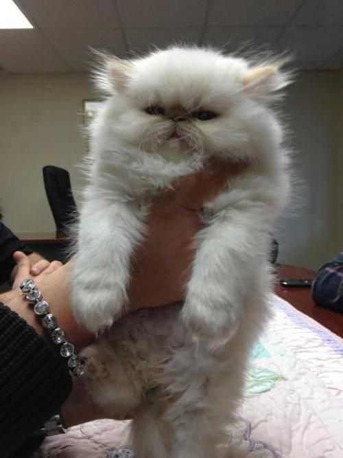 Squishfacekitties Is This The Fluffiest Cat In The World I Want - 25 of the fluffiest cats ever