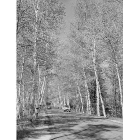 USA New Hampshire Shelburne birches along Presidential Highway 2 Canvas Art - (18 x 24)
