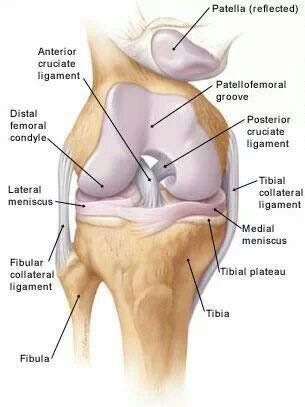 Pin By Andrea Kuzbyt On A P Anatomy Of The Knee Medical Anatomy Knee Joint Anatomy