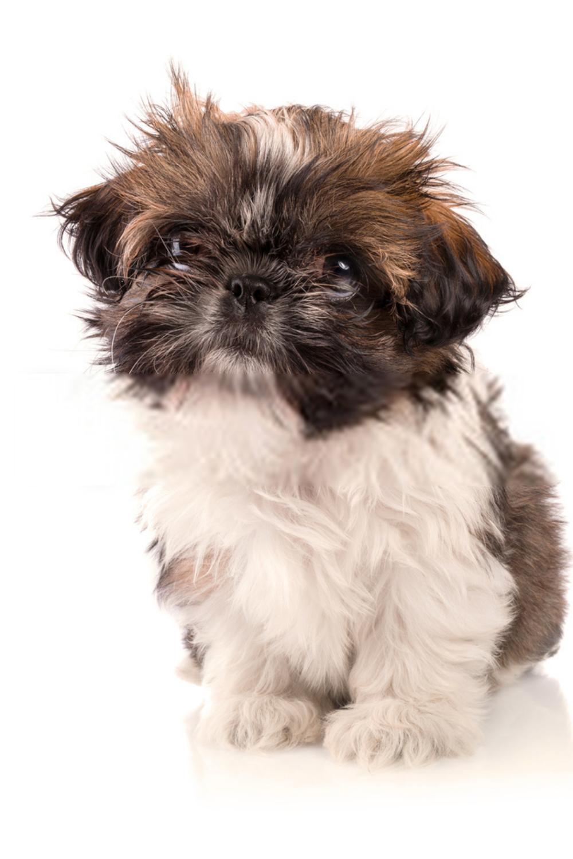Baby Shih Tzu Puppies Baby Shih Tzu Shih Tzu Puppy Baby Cute Baby Animals Shih Tzu Puppy