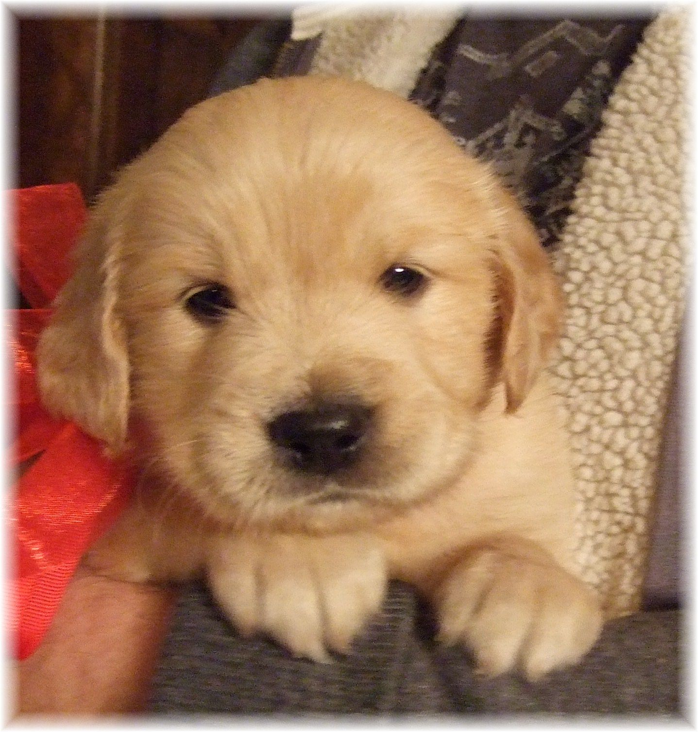Akc Golden Retriever Puppies For Sale Georgia Puppies Dog
