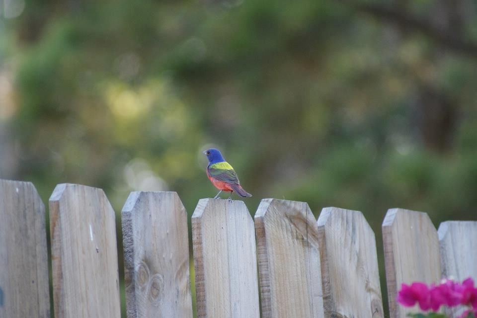 A Painted Bunting from the Texas hill country.