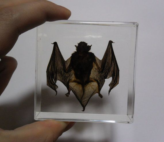 Yes I Definitely Want This But D Have To Know The Bat Of Natural Causes Gimme Pinterest Bats Taxidermy And