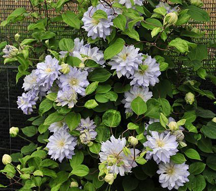 An exquisite selection with rounded, 4–5″ flowers that open in a cool, icy blue flurry of tightly packed petals all summer long. 'Diamond Ball' is a compact vine growing just 5–6′ tall.