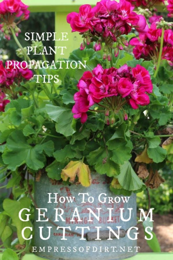 How to Take Cuttings from Geraniums Pelargoniums  Empress of Dirt How to take cuttings from geraniums to grow new flowering plants from spring to fall