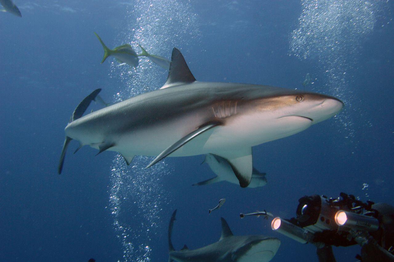 Shark Feeding Bahamas 2004