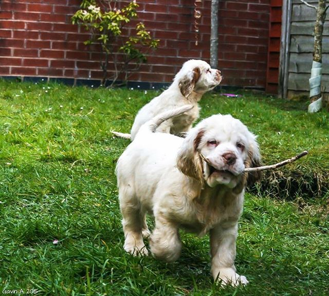 Clumber Puppies Clumber Spaniel Clumber Spaniel Puppies Dogs
