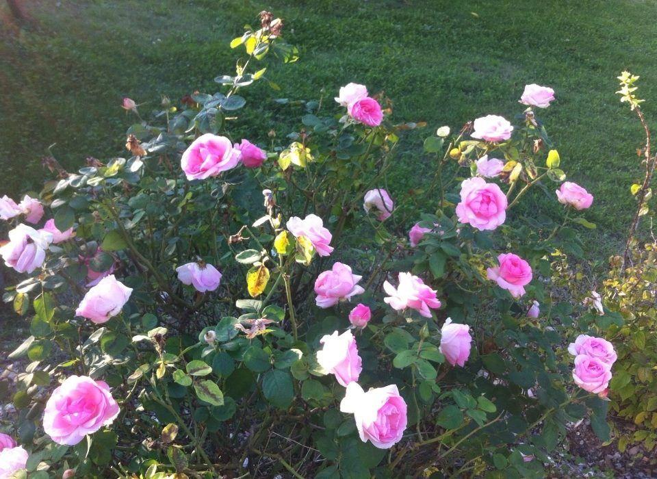 rosier d'octobre
