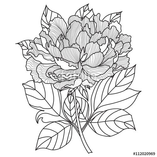 Vector Vector Peony Coloring Book Page For Adults Hand Drawn