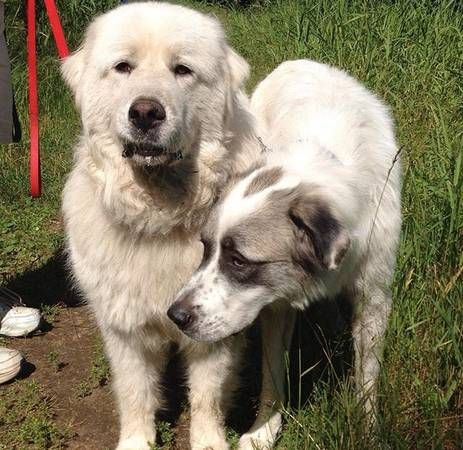 Great Pyrenees puppies ready for new homes! (With images ...