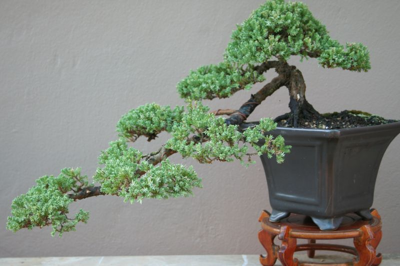 Bonsai Tree Bonsai Pruning Juniper Bonsai Bonsai Garden