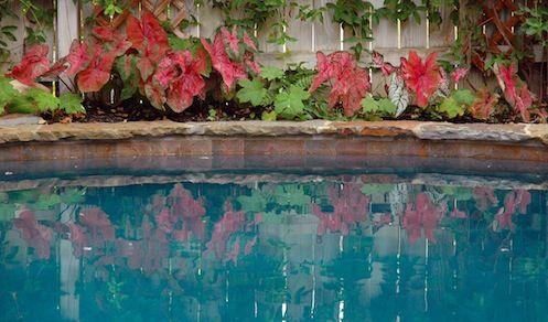 reflections of caladiums
