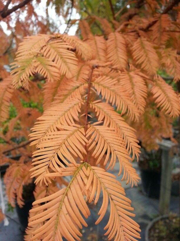 Fall Dawn Redwood