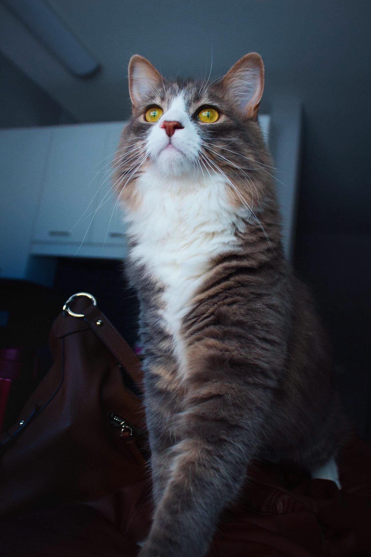 "Reddit, meet my friends majestic cat named ""Hotpot"" Cats"