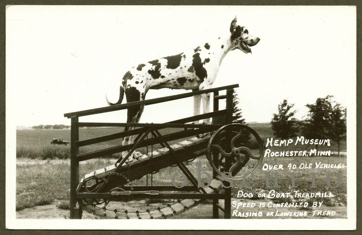 Great Dane Dog on Treadmill - Hemp Museum - Rochester,