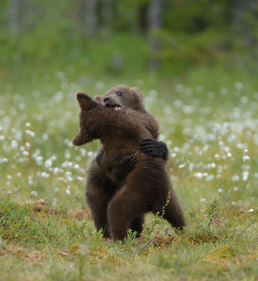 Free Bear Wrestling | Bear, Cute animal pictures, Animals wild