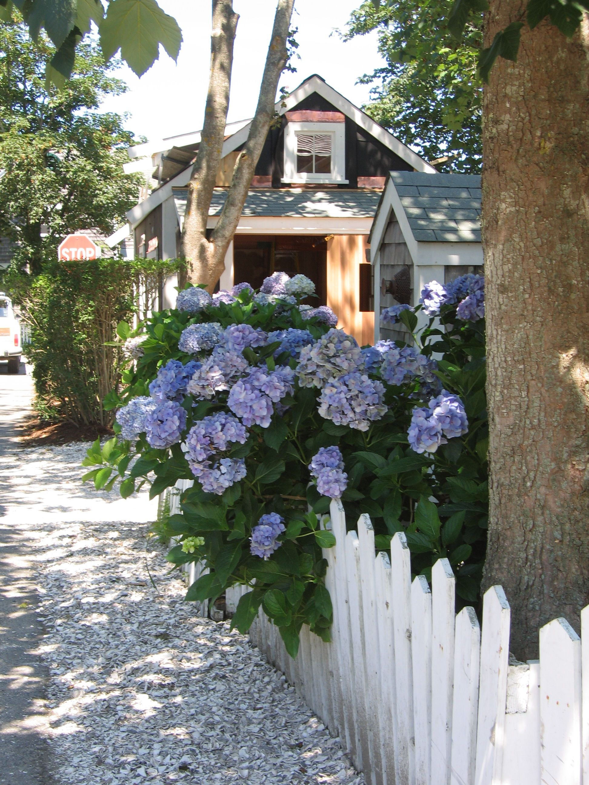 Beach cottage, Hydrangeas, white picket fence, and a ...