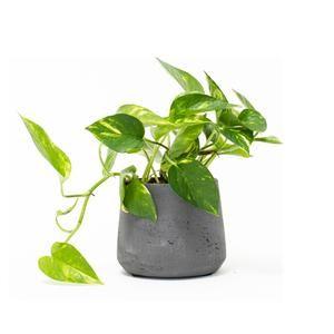 Golden Pothos -   17 planting Indoor desk ideas