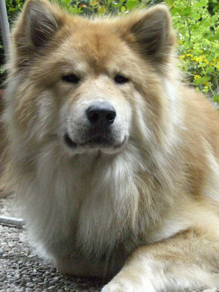 Beeindruckend Schöne Hunderassen Sammlung Von Eurasier Dog. Tiereerstaunliche Hundeschöne