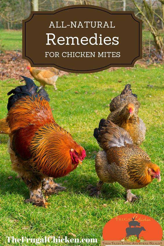 Natural Ways To Get Rid Of Chicken Mites