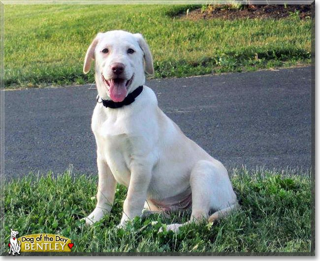 Read Bentley's story the Yellow Labrador Retriever from Pennsylvania and see his photos at Dog of the Day http://DogoftheDay.com/archive/2013/September/25.html .