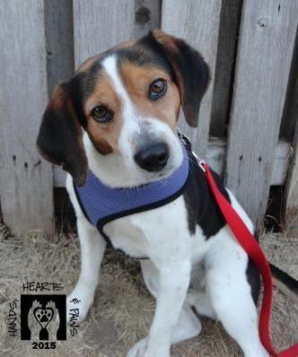 Adopt Koda On Beagle Dog Adoptable Beagle Beagle