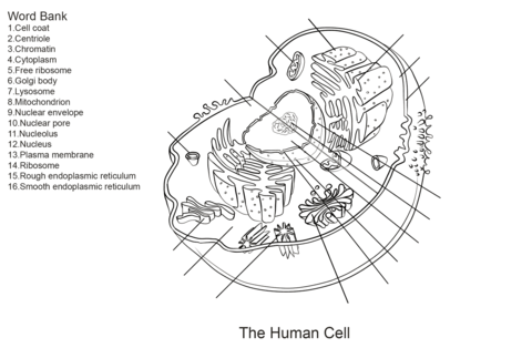 Human Cell Worksheet Coloring page