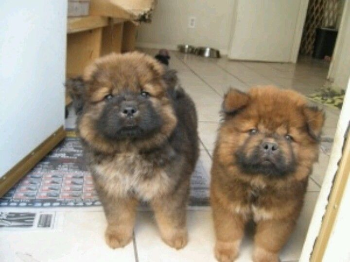 Pin By Brittany Cameron On It S Chow Time Chow Chow Dogs Cute