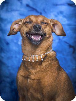 Nashville Tn Italian Greyhound Dachshund Mix Meet Penny A Dog