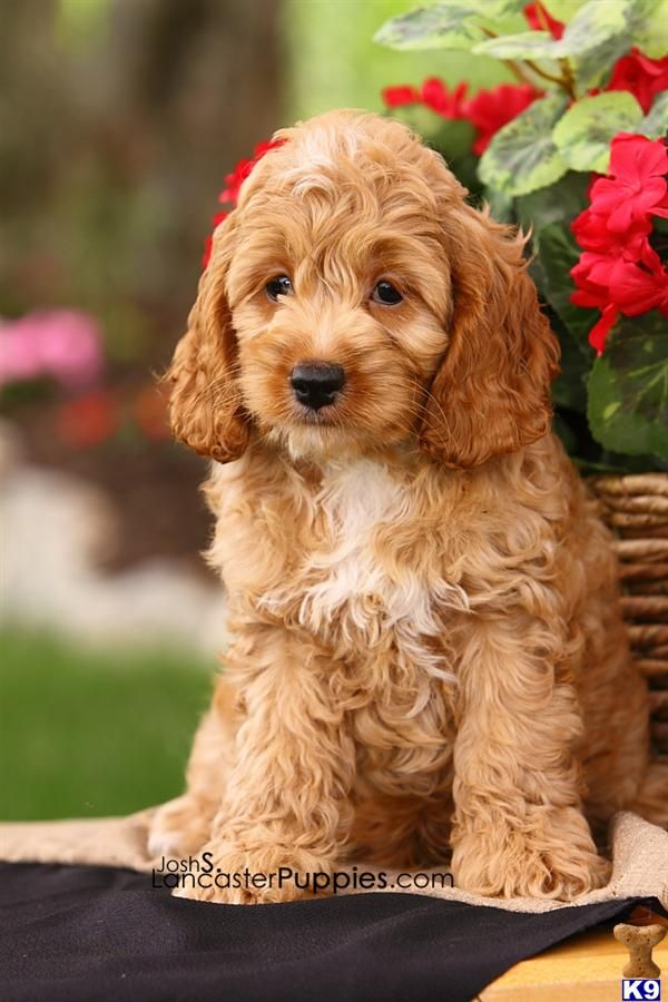 Cockapoo Yorkshire Terrier Puppies Dogs Hypoallergenic Dog Breed