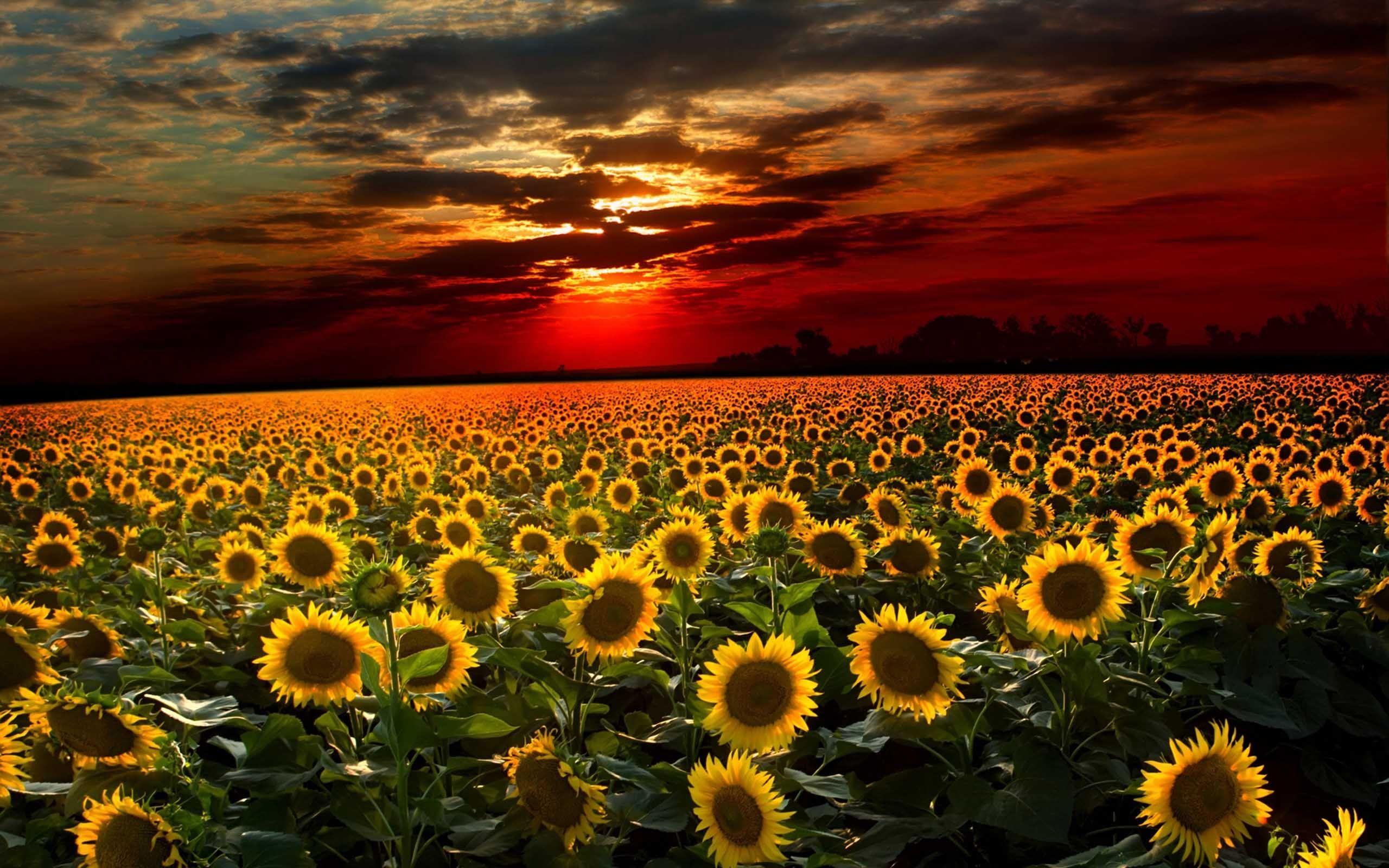 Flower Sunflowerhd Screensaver Download Wallpaper