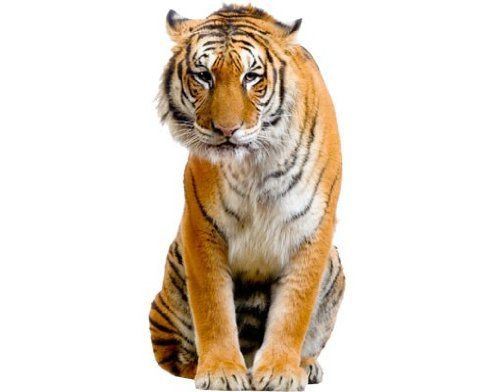 Window Sticker Sitzender Tiger window film window tattoo glass sticker window art window décor window decoration window picture Dimensions: 111.8 x 56.7 inches -- Learn more by visiting the image link. (This is an affiliate link) #WindowStickersandFilms