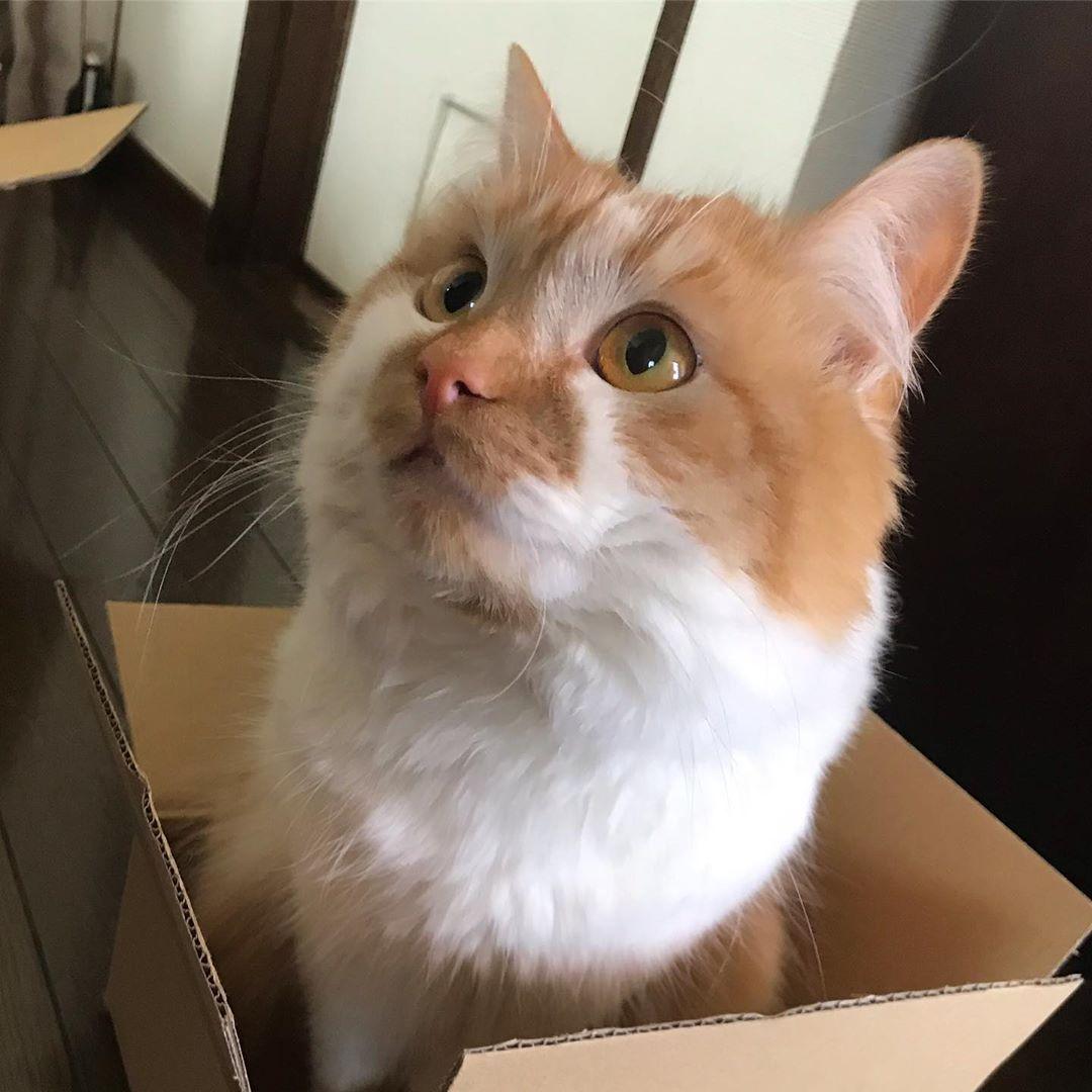 猫のDoro😸どろちゃん @dorochan_cat , 小さめの箱に入る猫