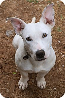 Adopted Knoxville Tn Bull Terrier Beagle Mix Meet Otto A Dog