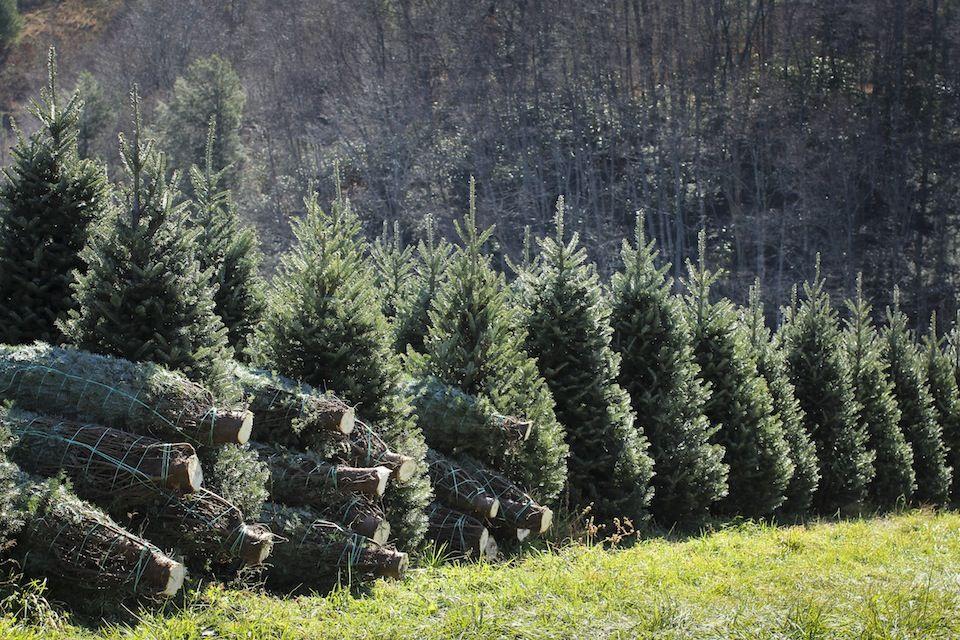 Fraser Fir Trees NC Christmas Trees Fraser fir, Fir