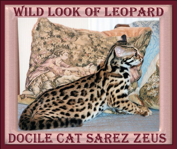Zeus The Bengal Cat Has All The Physical Attributes Of A Leopard