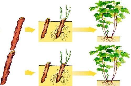 размножение черной смородины из черенков в картинках