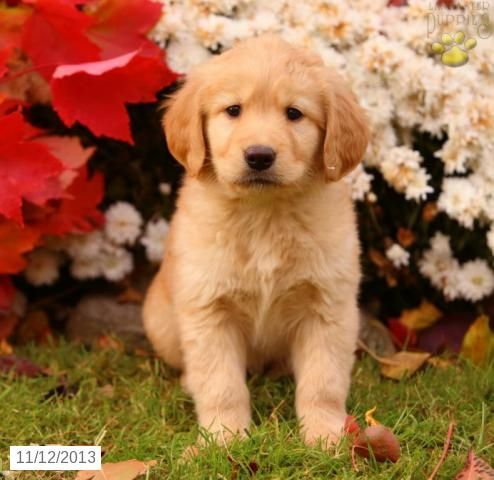 Golden Retriever Puppy for Sale (With images) Puppies